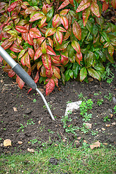 Weeding a border with a hoe.