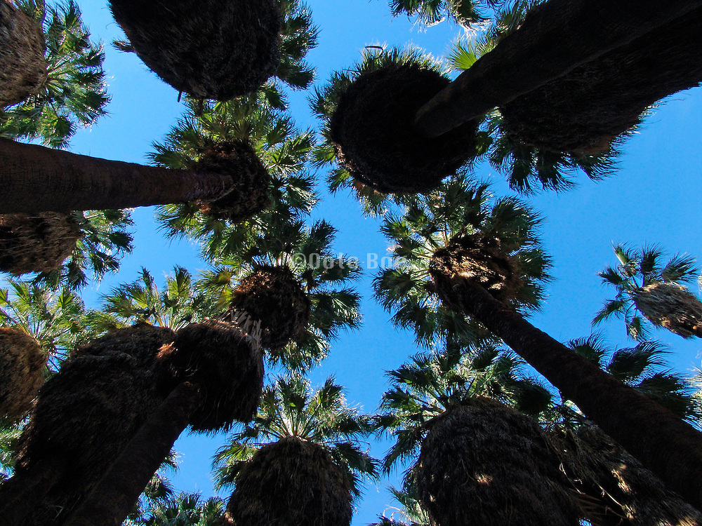 Upwards view of a group of palm trees.