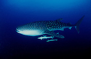 Juvenile Whaleshark (Rhincodon typus) with remoras.  The shark has an injury to it's dorsal fin, possibly the result of a boat propeller. Maamigili Outside, South Ari Atoll
