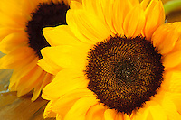Fresh cut sunflowers