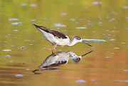 Black-winged Stilt (Himantopus himantopus) wading in water Photographed in Israel