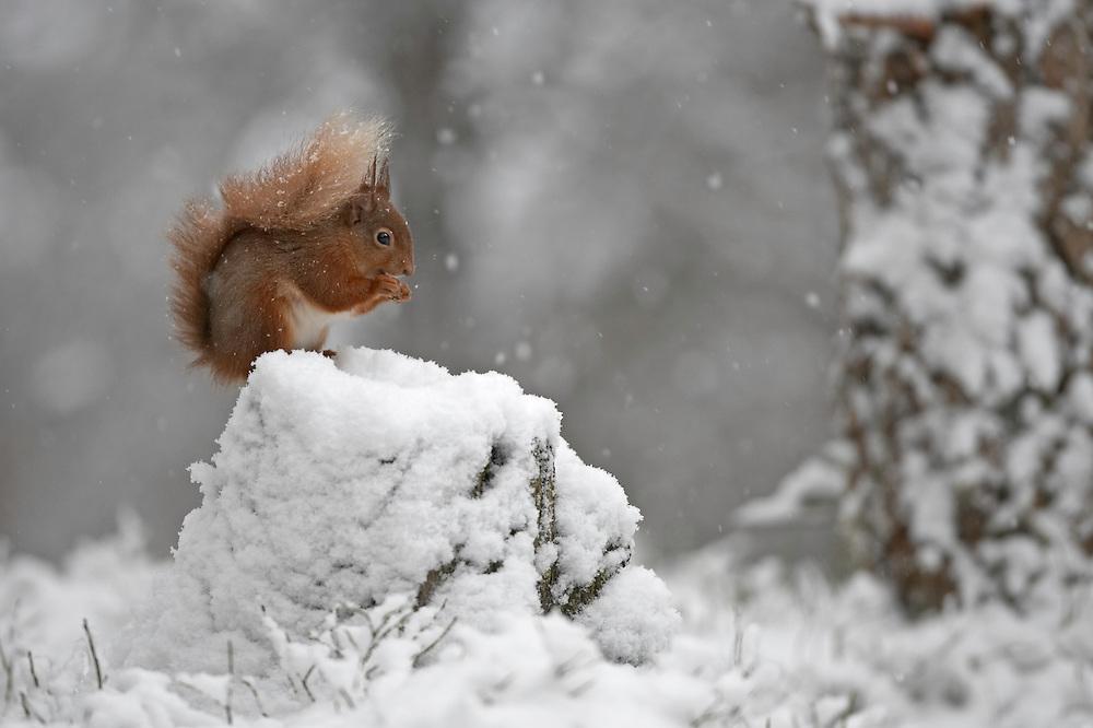 Red squirrel (Sciurus vulgaris) feeding in snow, Cairngorms National Park, Scotland.