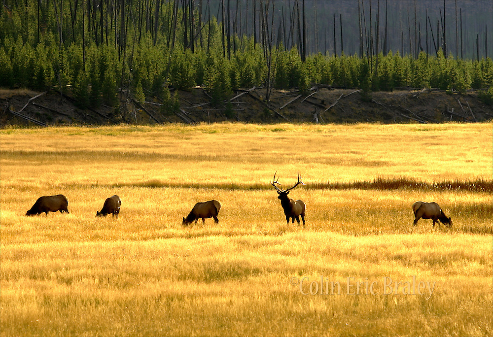 A bull elk stands sentry as his harem grazes in the afternoon sunlight, 9/26/07, in Yellowstone National Park. Braley/Stock