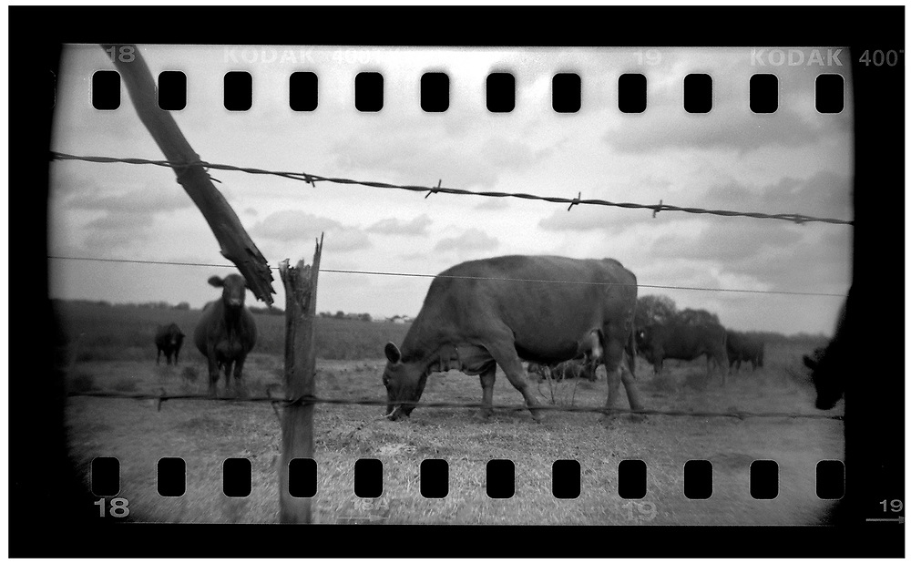 Cattle are seen grazing in a field in Crawford, Texas, in this photo taken November 10, 2008. Bush moved to the small Texas town, population 705, in 1999 during his run for the presidency in 2000. The effect of the image was achieved by shooting 35mm black and white film in a medium format camera thereby exposing the entire negative including the sprocket holes of the film. REUTERS/Jim Young