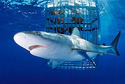 divers and Galapagos shark, .Carcharhinus galapagensis, .North Shore, Oahu, Hawaii (Pacific).