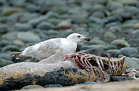 Glaucous-winged Gull (Larus glaucescens), Oyster Bay, nr Cambell River, Feeding on carcass of seal, Possibly hybrid   Photo: Peter Llewellyn