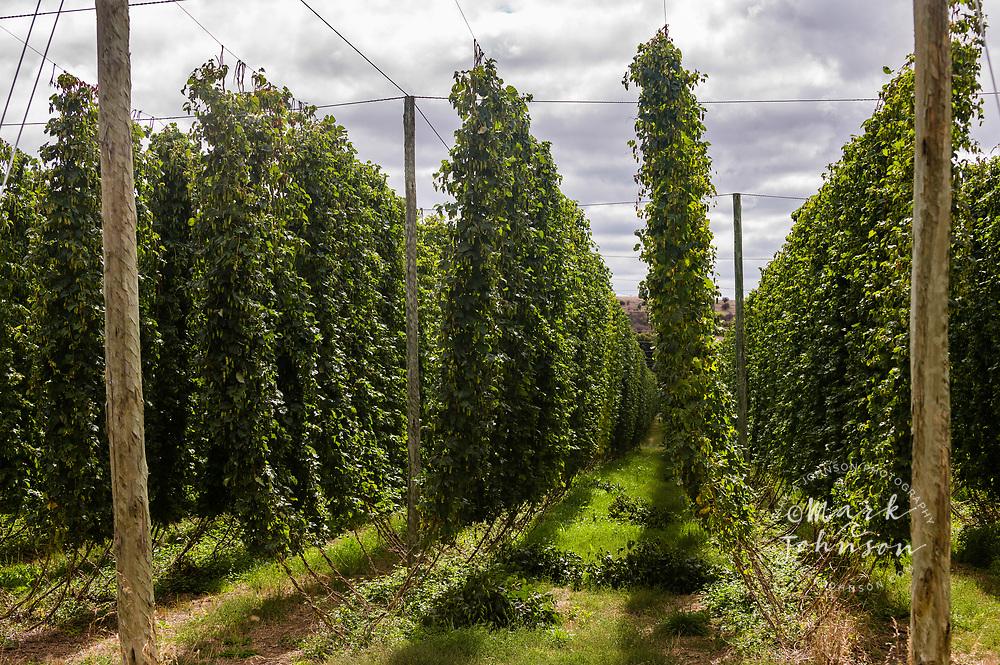 Hops growing, Glenora, Tasmania, Australia