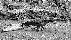 A Grackle Grabs Some Fish