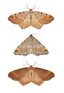 70.214 (1893)<br /> Tawny-barred Angle - Macraria liturata