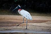 Aquidauana_MS, Brasil...Tuiuiu (jabiru mycteria) proximo a um lago da fazenda Rio Negro no Pantanal...The Jabiru (jabiru mycteria) next to a lake in the Rio Negro farm in Pantanal...Foto: JOAO MARCOS ROSA / NITRO