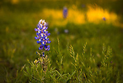 The bluebonnets fade and go to seed, Mason County, Texas