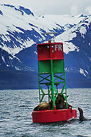 Seals on a Buoy, Auke Bay