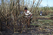 Antonino Cwo, 57, from Xaibé, cuts sugar cane at the plot of local BSCFA member Leocadio Hoy. Antonino has been a bus driver for many years but has began cutting sugar cane sporadically in order to supplement his income. Belize Sugar Cane Farmers Association (BSCFA), Xaibé, Corozal, Belize. January 22, 2013.