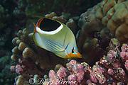 saddled butterflyfish, Chaetodon ephippium, Bay of Wrecks, Christmas Island, Line Islands, Republic of Kiribati (Pacific)
