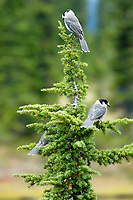 Pair of Clark's Nutcracker (Nucifraga columbiana), Mount Washington, Vancouver Island, Canada   Photo: Peter Llewellyn