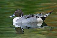 Northern Pintail - Anas acuta - male