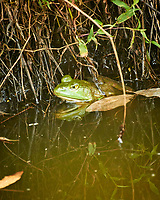 One-eyed Kermit the Bullfrog in the Pond. Image taken with a Nikon 1 V3 camera and 70-300 mm VR lens