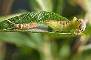 Puss moth (Cerura vinula) caterpillar sloughing its skin. Surrey, UK.