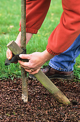 Planting and staking a young tree with slanted post support