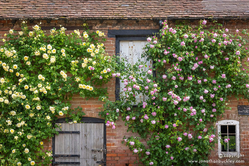 Rosa 'The Pilgrim' and 'Spirit of Freedom' growing on the wall of a barn