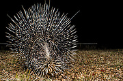 Porcupine (Hystrix africaeaustralis)<br /> Marakele Private Reserve, Waterberg Biosphere Reserve<br /> Limpopo Province<br /> SOUTH AFRICA