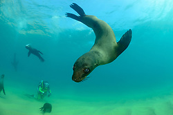 Arctocephalus pusillus, Suedafrikanicher Seebaer und Taucher, South African fur seal and scuba diver, Plettenberg Bay, Suedafrika, Indischer Ocean, South Africa, Plettenberg Bay,  Indian Ocean, MR Yes