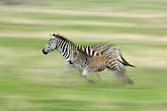 Grant's zebra, Equus quagga boehmi, Serengeti NP, Tanzania