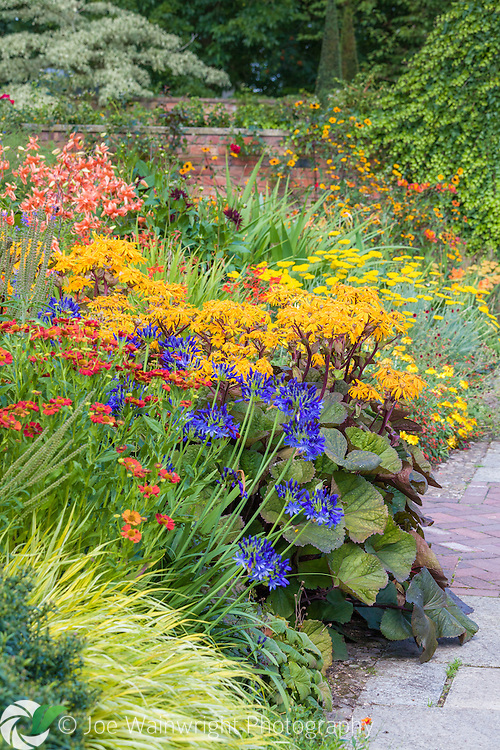 Ligularias, agapanthus, lilies and heleniums are among the plants providing a hot and exotic feel to this part of Wollerton Old Hall Gardens, Shropshire. This image is available for sale for editorial purposes, please contact me for more information.