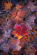 Fall leaves with morning frost.