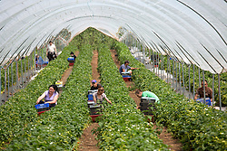 © Licensed to London News Pictures. 19/05/2014. Hints, Staffordshire, UK. Strawberries have started being picked in huge numbers due to the recent good weather. Manor Farm Fruits in Staffordhire started picking on the 24th of April, the earliest they have ever begun picking. Now the good weather means they can start picking in earnest, they foreast that they will break last years record and pick between 25 to 30 million of the little red beauties. Pictured, pickers amongst the thousdands of strawberries. Photo credit : Dave Warren/LNP