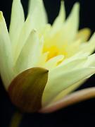 Nymphaea 'Jool Tomocik' - waterlily