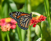 Monarch butterfly feeding on a Zinnia flower. Image taken with a Nikon 1 V3 camera and 70-300 mm  VR lens