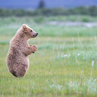 A yearling brown bear cub is curious and stands up to look at his surroundings, Hallo Bay, Katmai National Park