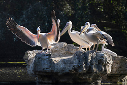 © Licensed to London News Pictures. 14/06/2021. London, UK. Pelicans warm themselves on a rock in St James's Park Lake during a sunny morning in central London. Another day of high temperatures is expected in the UK. Photo credit: Peter Macdiarmid/LNP