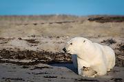 Polar Bear lies on the beach, dreaming of a white christmas. At Phipps island, north of Spitsbergen | Isbjørn ligger på en sandstrand og drømmer om en hvit jul. På Phippsøya