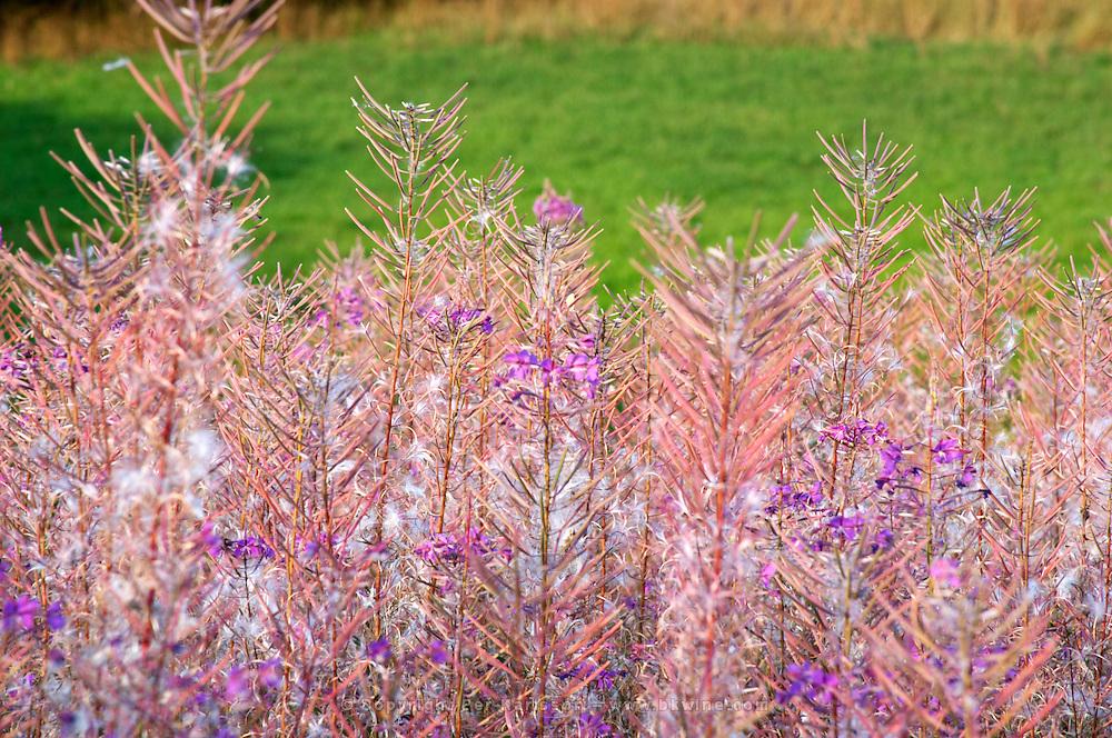 Rosebay willowherb willow herb Epilobium angustifolium. Airborne seeds. Smaland region. Sweden, Europe.