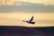 Sage grouse inflight against morning sky