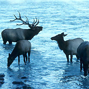 Elk, (Cervus elaphus) bull herding cow harem out of river during rut, bugling.  Canadian Rockies. Canada.