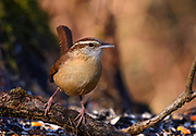 The Carolina Wren leans to its left and stares right at me as if its asking me a question.