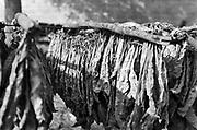 Griekenland, Nafplion, 25-8-1973  Tabak, tabaksbladeren hangen te drogen in de zon . Foto: ANP/ Hollandse Hoogte/ Flip Franssen