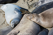 northern elephant seals, Mirounga angustirostris, a freshly molted ( moulted ) juvenile (silver) snuggles up against some seals that are just starting their molt ( moult ), Piedras Blancas, near San Simeon, California, United States ( Eastern Pacific Ocean )