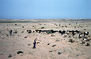 Sheep and goats grazing in desert with their herders, Yemen, 1998