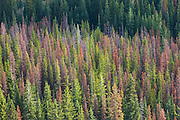 Top view of trees killed by a bark beetle outbreak near Twisp Pass, North Cascades National Park, Washington. Bark beetle populations have exploded and caused massive devastation throughout the west since the late 1990s. Recent warmer winters have not been sufficiently severe to kill the native beetle and suppress its population growth.