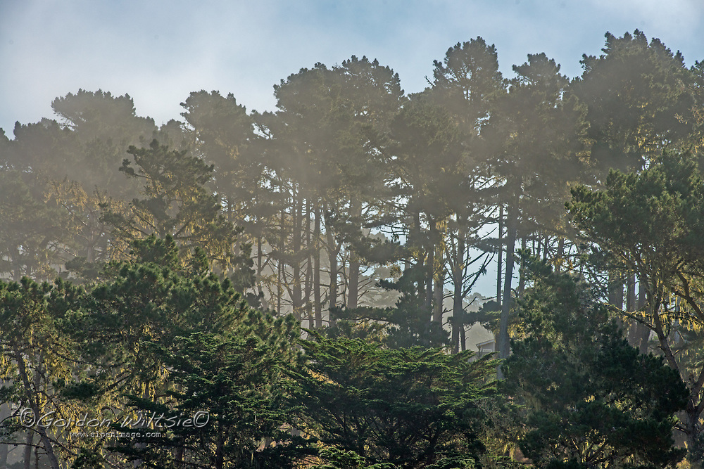 Fog drifts through Eucalyptus trees near Montara, California