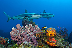 A pair of Caribbean Reef Sharks, Carcharhinus perezi, cruise above colorful sponges at the edge of the Gulf Stream. Little Bahama Bank Bahamas, Atlantic Ocean