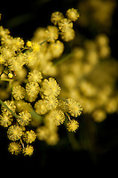 One of Australia's national symbols, the  beautiful Wattle drips from trees like sparkling golden jewels in the cooler months.