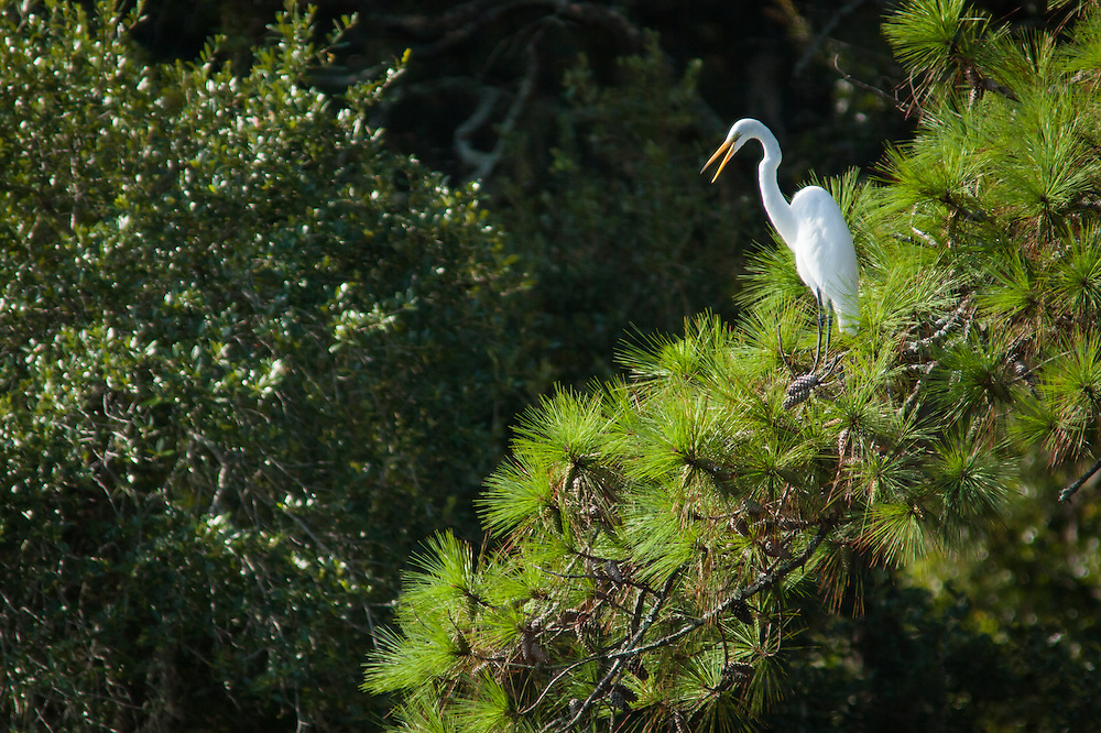 A comon egret roosts in a pine tree along a forested shoreline of the May River at high tide.