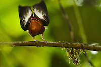 Club-winged Manakin (Machaeropterus deliciosus).Male hitting its wings together over its back to produce a pure tone..Endemic species to Ecuador...Milpe Cloudforest Reserve