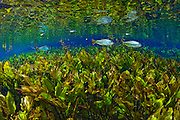 Piraputangas (Brycon microlepis) float over a thick carpet of brushwood leaf rich water plantain (Echinodorus macrophyllus) in a spring in Mato Grosso do Sul, Brazil.