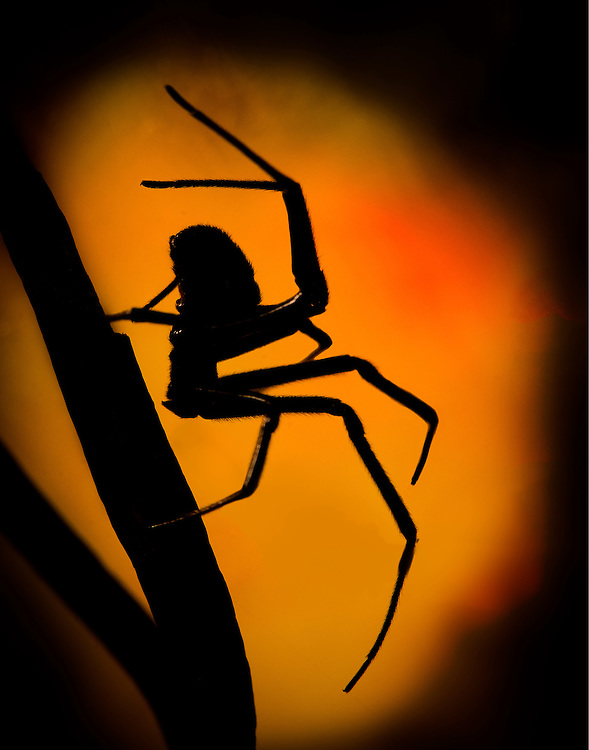 Black Widow, (Latrodectus hesperus), captive, credit: Palo Alto JMZ/M.D. Kern